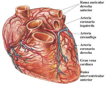 Anatomía cardíaca y funcionamiento del corazón